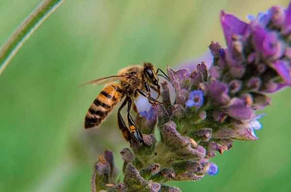 Sin las abejas habrá desabasto de alimentos