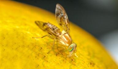 Colabora Agricultura con 17 países de América Latina y el Caribe para fortalecer la Técnica del Insecto Estéril