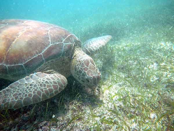 Algas coralinas mantienen en equilibrio el ecosistema en costas tropicales de Quintana Roo