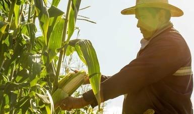 Impulsan Agricultura y CIMMYT acciones para aumentar seguridad alimentaria y evitar impactos en el campo por pandemia