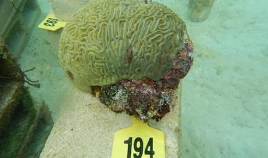 Logra Inapesca segundo desove de coral en cautiverio, como parte del proyecto de restauración de arrecifes coralinos
