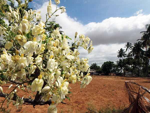 Estudio de la UNAM demuestra beneficios de la moringa