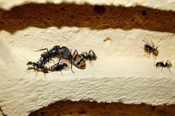 Hormigas, aliadas para entender si es posible prevenir el envejecimiento de ovarios