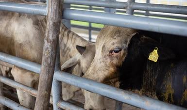 Agiliza Agricultura inspección sanitaria de bovinos para apoyar a productores ganaderos