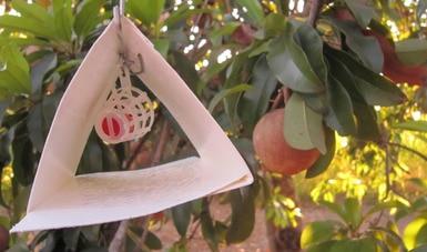 Activa Agricultura Dispositivo Nacional de Emergencia en Chiapas para erradicar la mosca del Mediterráneo