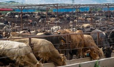 Inhibe Agricultura uso de sustancias prohibidas para engorda de ganado