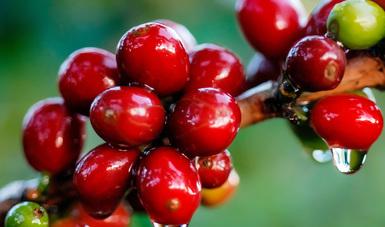 Desarrolla Agricultura acciones fitosanitarias en 11 estados productores de café