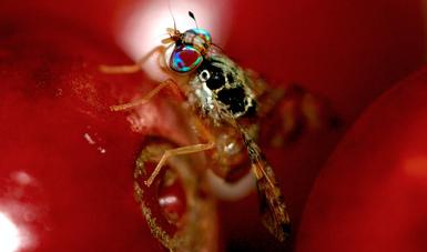 Acciones sanitarias de erradicación de la mosca del Mediterráneo protegen 1.9 millones de hectáreas de cultivos hortofrutícolas