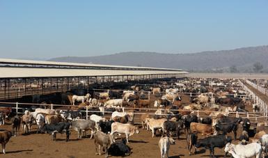 Repunta exportación de ganado en pie a Estados Unidos