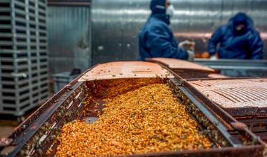 Aplica Agricultura acciones contra la mosca del Mediterráneo