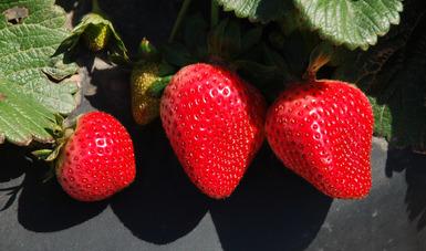 Deja comercialización de frutillas derrama económica por más de nueve mil millones de pesos en Baja California