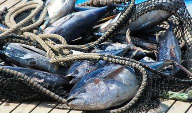 Establece Agricultura periodos de veda temporal 2021 para la pesca comercial de especies de túnidos en el océano Pacífico