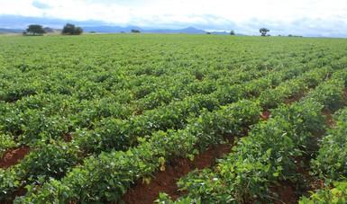 Apoyará Agricultura a los productores de Durango y Zacatecas con semilla certificada de frijol y grano apto para siembra