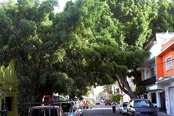 Árboles y plantas exóticas desplazan especies nativas, en urbes