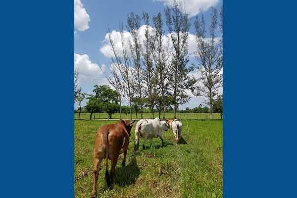 Adiós a metano en eructos de vacas, con moringa