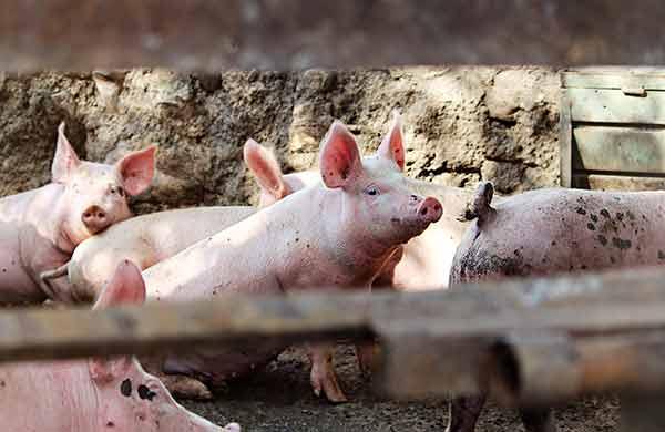 Reaparece la peste porcina africana