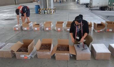 Es retenida más de media tonelada de pepino de mar seco, en Aeropuerto Internacional de Tijuana