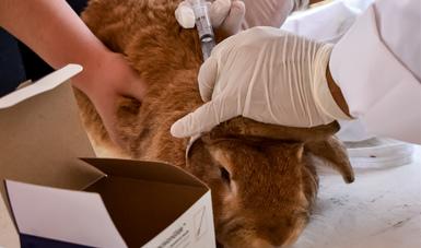 Concluye Agricultura emergencia sanitaria por enfermedad viral de los conejos