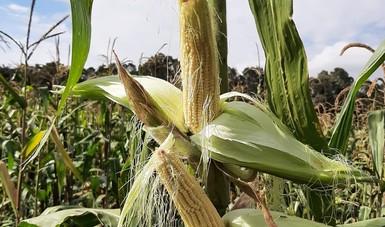 Desarrolla Colpos variedades mejoradas de maíz palomero para potenciar su cultivo y responder a la demanda comercial