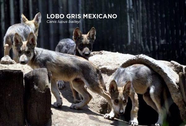 Nace una camada de lobos mexicanos en el Zoológico San Juan de Aragón