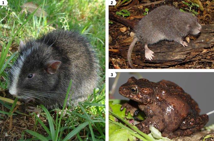 Científicos peruanos y de la UNAM redescubren rata inca