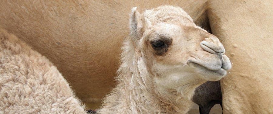 Rafiq, nombre elegido para dromedario del Zoológico de Chapultepec