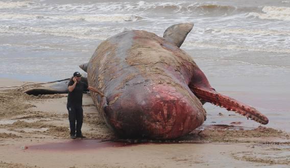 Ballena muerta en Montevideo es extraída del mar tras largo operativo