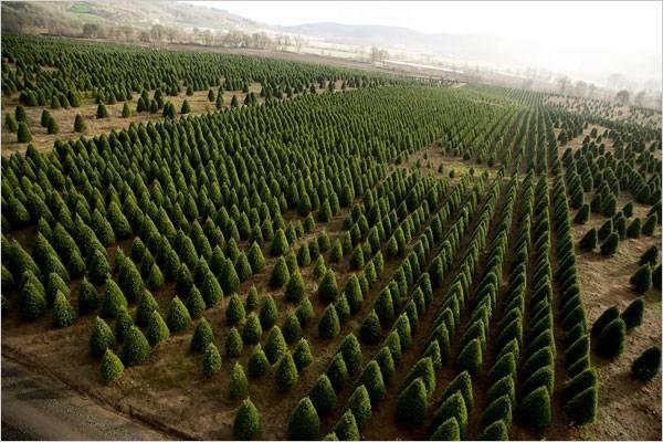 Impulsa comisión del Senado cultivo de árboles de navidad