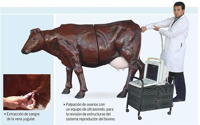 Vacas mecatrónicas para la enseñanza veterinaria en la UNAM